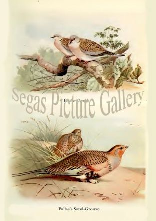 Turtle Dove & Pallas's Sand-Grouse